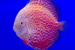 W błękit Symphysodon czerwony Dysk Zdjęcie Stock