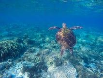 W błękitne wody denny żółw Zielony żółw w rafie koralowa Błękitny morze i uroczy denny zwierzę Zdjęcie Royalty Free