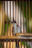 W birdcage czerwony Bulbul Obrazy Stock