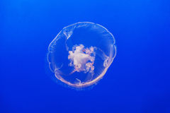 W błękitny morzu galaretowa ryba Zdjęcia Royalty Free