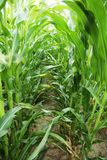 W centrum kukurydzy pole Obrazy Stock