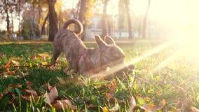 W?a?ciciel chodzi z psem w parku Psie sztuki z kijem w parku w ?wieceniu po?o?enia s?o?ce Opieka i szkolenie dla zwierz?t domowyc zbiory wideo