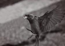 w ciemno ptaka latający ocean otwarte mewa skrzydła Obrazy Stock