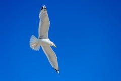 w ciemno ptaka latający ocean otwarte mewa skrzydła Obrazy Royalty Free