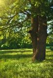 W cieniu dębowy drzewo Zdjęcie Royalty Free