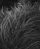 W czarny i biały dzika trawa obraz royalty free