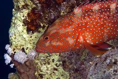 W Czerwonym morzu koralowa łania. obrazy stock