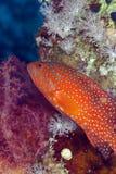 W Czerwonym morzu koralowa łania. obrazy royalty free