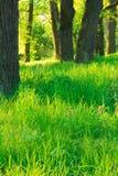 W dębowym gaju lato ranek. zielona natura Fotografia Stock
