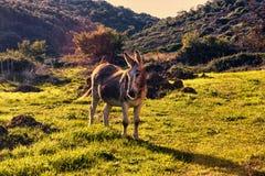 W dolinie osioł odpoczywa przy zmierzchem Zdjęcie Stock