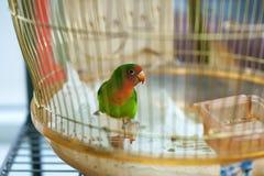W domowej klatce kolorowa papuga Obrazy Royalty Free