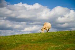W Dorset wsi krowy pasanie Zdjęcie Stock