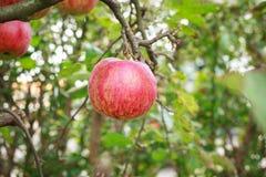 W Drzewie czerwony Apple Obraz Stock
