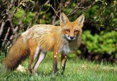 W dzikim czerwony lis Zdjęcie Stock