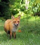 W dzikim czerwony lis Zdjęcie Royalty Free