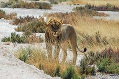 W Etosha młody lew (Panthera Leo) Zdjęcie Royalty Free