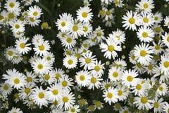 W fala i pięknym kwiat stokrotki tle obrazy royalty free