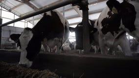 W górę żywieniowych nabiał krów footage Krowy jedzą siano na nowożytnym nabiału gospodarstwie rolnym Nabiał krowy jedzą odżywki s obrazy stock