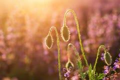 W górę czułego kwitnienia zaświecającego lata słońca jeden czerwonym dzikim maczkiem i undiluted kwiatów pączkami na wysokich trz obraz stock