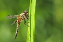 W górę dostrzegającego łowcy dragonfly insekta, Libellula quadrimaculata obrazy stock