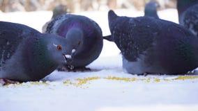 W górę gołębi je w śniegu Żywieniowi gołębie ziarna w zimie Gołębie dzióbać adry raspunde w rzędzie na śnieżnym zimnie fotografia stock