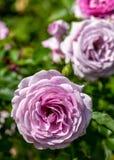 W górę światła - purpurowego fiołek dumy floribunda różany hybryd w selekcyjnej ostrości outdoors w ogródzie na słonecznym dniu zdjęcie stock