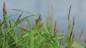 W górę Świeżej Zielonej trawy Kiwa Pośród Ciepłego letniego dnia zbiory wideo