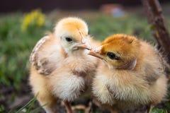 W górę żółtych kurczaków na trawie, żółci mali kurczaki, grupa żółci kurczaki Drobiowy uprawiać ziemię obraz royalty free