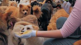 W górę żeńskich ręk migdali klatkowego przybłąkanego psa w zwierzęciu domowym i karmi osłania Ludzie, zwierzęta Zgłasz zbiory wideo