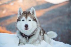 W górę bezpłatnych i prideful siberian husky spojrzeń jak królewiątko las zdjęcia stock