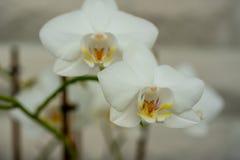 W górę białej orchidei fotografia stock