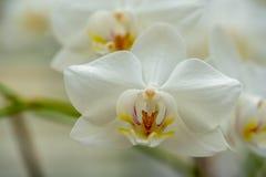 W górę białej orchidei obraz stock