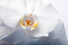 w górę biel kwiat zamknięta orchidea Zdjęcie Stock