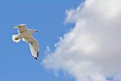 w górę biel lotniczy latający seagull Zdjęcia Royalty Free