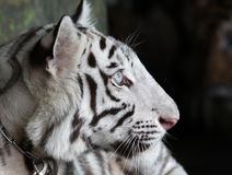 w górę biel zamknięty śliczny tygrys Zdjęcia Stock