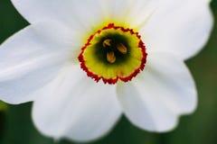 w górę biel zamknięty kwiat Makro- Zdjęcie Stock