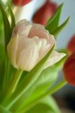 w górę biel zamknięty tulipan Obrazy Royalty Free