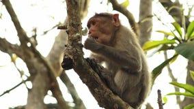 W górę czapeczka makaka w Kerala India zdjęcie wideo