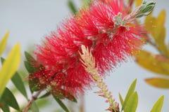 W górę czerwonego bottlebrush kwiatu fotografia royalty free