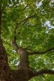 W górę Dębowego drzewa i W górę Fotografia Stock
