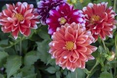 W górę dalii pinnata kwiatu czerwone zdjęcia stock
