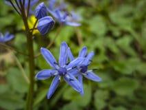 W górę delikatnej jaskrawej błękitnej dzwonkowej cebulicy Bifolia na zamazanym tle zielony wiosna ogród zdjęcia stock