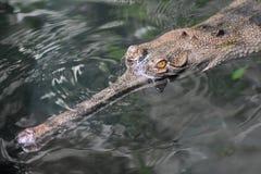 W górę dokładnego spojrzenia przy gawiala krokodylem w wodzie Fotografia Stock