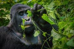 W górę dokładnego spojrzenia przy twarzą silverback halny goryl gdy żuć na liściach fotografia stock