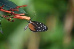 W górę dokładnego spojrzenia przy Zuleika Brown i Czarny motyl Obrazy Royalty Free