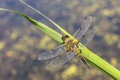 W górę dostrzegającego łowcy dragonfly insekta, Libellula quadrimaculata obrazy royalty free