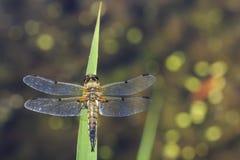 W górę dostrzegającego łowcy dragonfly insekta, Libellula quadrimaculata zdjęcie royalty free