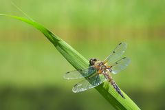 W górę dostrzegającego łowcy dragonfly insekta, Libellula quadrimaculata fotografia royalty free