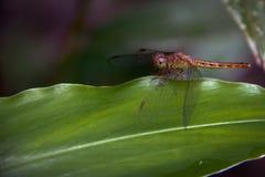 W górę Dragonfly wyspy na liściach zdjęcia royalty free