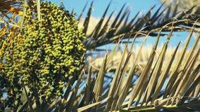 W górę, duża wiązka zieleni daty na palmowych gałąź zdjęcie wideo